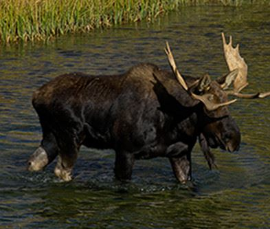 Moose walking through water